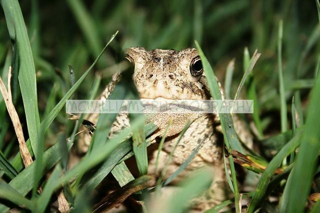 Woodhouse Toad