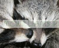 Raccoon Kisses