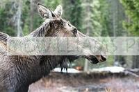 Female Moose (Alces alces)