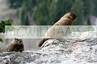 Yellow bellied Marmots (Marmota flaviventris)